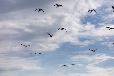 group of canada geese blue sky background