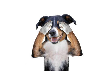 hiding covering eye dog, appenzeller sennenhund