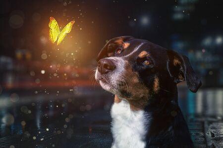 Dog on a night with a Butterfly, Appenzeller Sennenhund Stock fotó