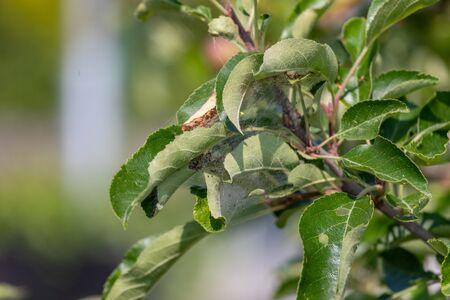 Webworms on tree branch, Apple Tree