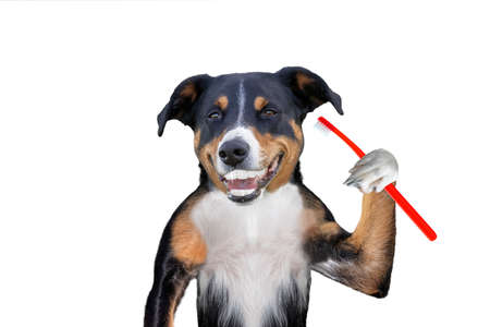 Dog holding a toothbrushes, perfect smile dog
