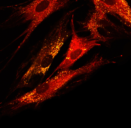 Mesenchymal stem cells labeled with fluorescent molecules
