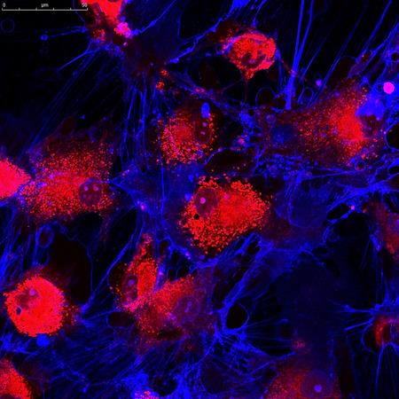 Las células madre mesenquimales marcadas con moléculas fluorescentes Foto de archivo - 83412265