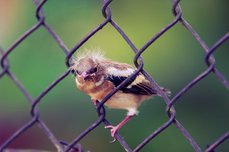 Young eurasian sparrow sitting on the fence Stock Photo