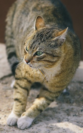 spotted fur: Fighting homeless cat in agressive position - close-up view