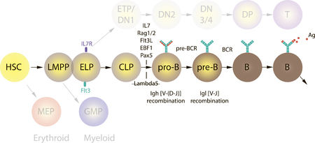 B-cellen differentiatieillustratie op een witte achtergrond Stock Illustratie
