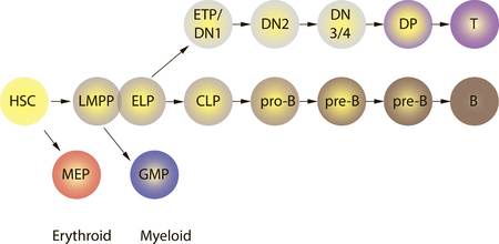 Lymphocyte B- and T-cells differentiation illustration