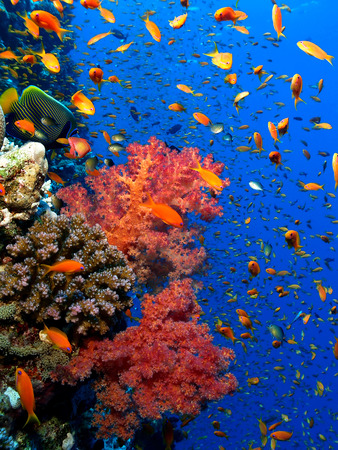 anthias fish: Coral Reef Stock Photo