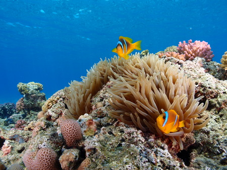 Red Sea Anemone Stock Photo