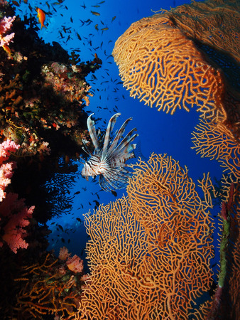 gorgonian sea fan: Red Sea Reef