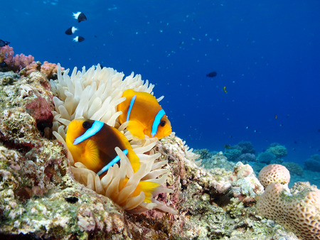 Red Sea Anemone and Anemonefish
