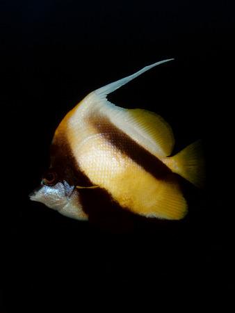 Red Sea Bannerfish at night Stock Photo