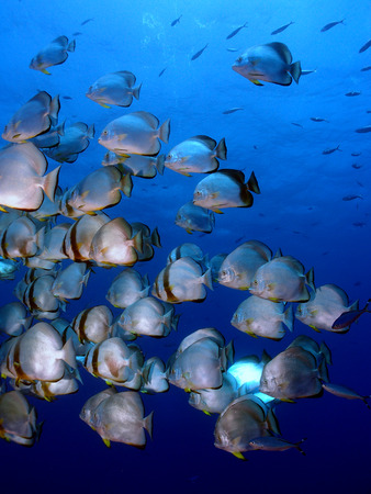 platax: A school of spade fish (platax orbicularis) in blue water Stock Photo