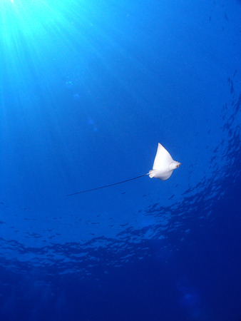 Eagle Ray from beneath, with sunshine. photo