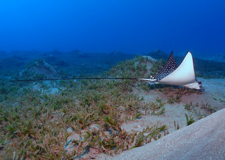 An eagle ray (aetobatis narinari) feeds on sea grass in the Red Sea. Stock Photo