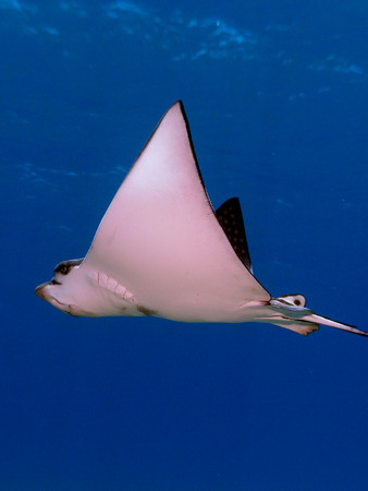 narinari: Spotted Eagle Ray in blue water