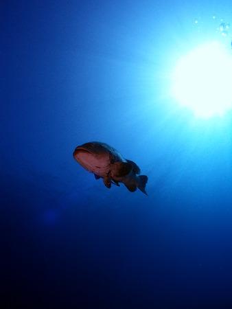 epinephelus: Malabar grouper in blue water with sun rays