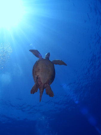 Green sea turtle (chelonia mydas) swims to the surface, with the sun in the background