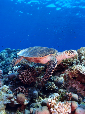 Sea turtle swims across a reef in the Red Sea