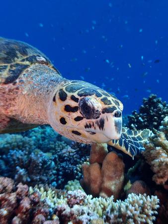 Hawksbill turtle close-up