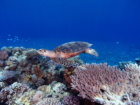 Hawksbill turtle swims across a reef in the Red Sea Stock Photo