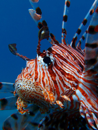A close up of the face of a lionfish (Pterois miles)