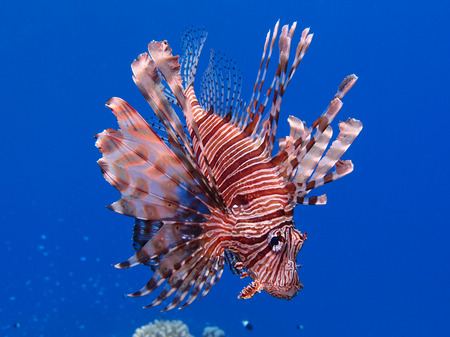 pterois: A lionfish (pterois miles) hovers in mid-water the Red Sea Stock Photo