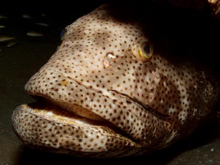 Malabar grouper close-up Stock Photo