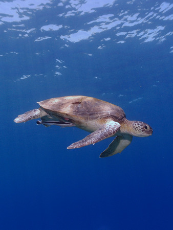Green sea turtle swims through clear blue water