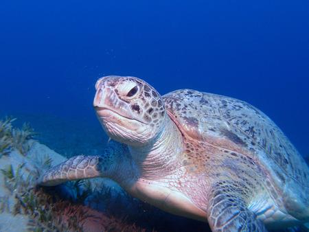 Green sea turtle resting on sea grass