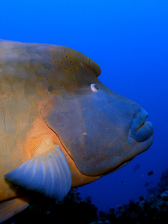 cheilinus undulatus: Napoleon wrasse close-up Stock Photo