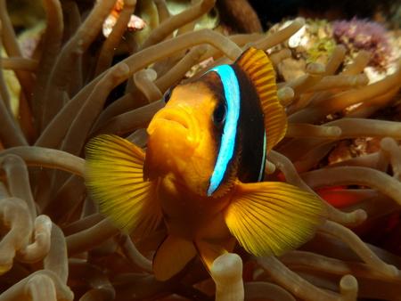 Anemonefish close-up