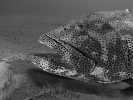 Close-up of a malabar grouper in black and white