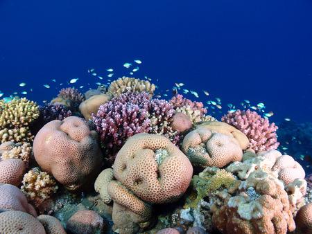 Red Sea coral garden