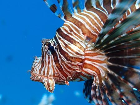 Lionfish close-up (Pterois miles) Stock Photo