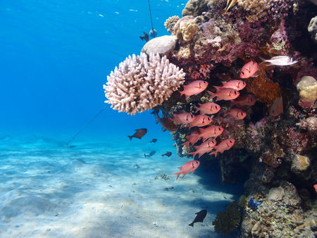 Coral reef and soldierfish Stock Photo