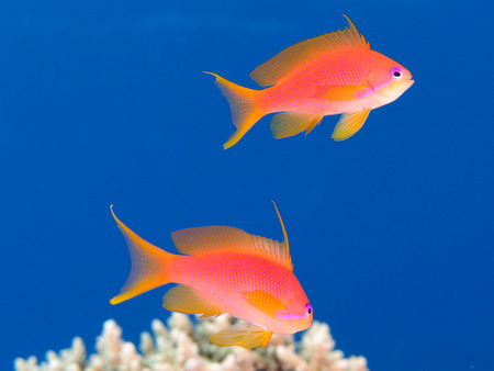 Two oman anthias (pseudanthias marcia) swim in clear blue water above a reef Stock Photo
