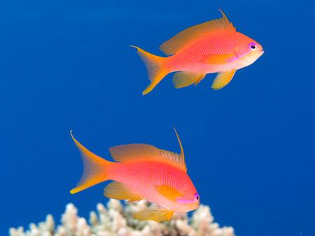 Two oman anthias (pseudanthias marcia) swim in clear blue water above a reef Standard-Bild