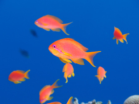 One oman anthia highlighted against a school of anthias (pseudanthias marcia) in blue water Standard-Bild