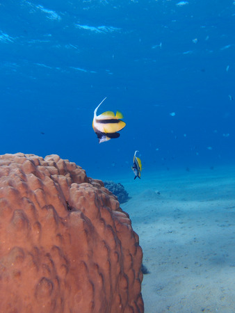 Red Sea bannerfish hover beside a hard coral.