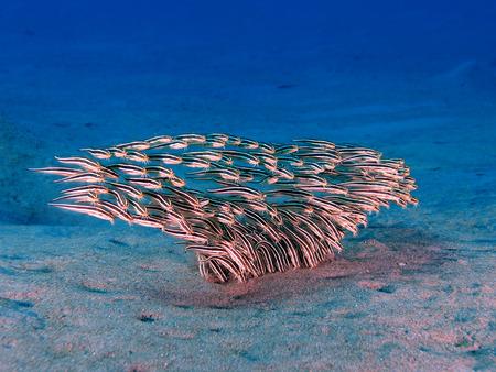 garden eel: A school of striped eel catfish (plotosus lineatus)