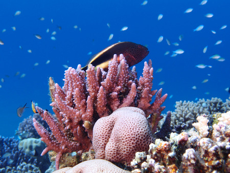 Hawkfish rests in a Red Sea coral garden Stock Photo