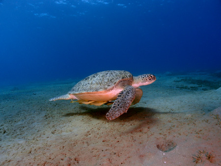 A green sea turtle (chelonia mydas) swims across a sandy seabed.