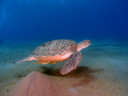 Green turtle (chelonia mydas) swims over the sea floor in the Red Sea