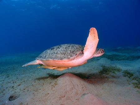 Green sea turtle (chelonia mydas) swims across the ocean floor