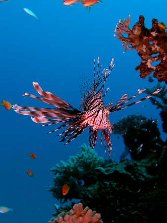 Lionfish (pterois miles) hovers beside the reef