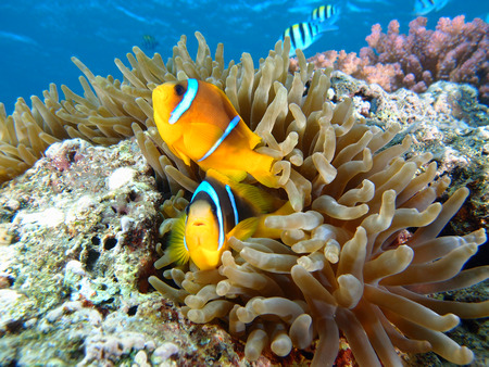 Two anemonefish in a sea anemone in the Red Sea.