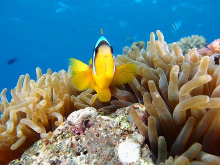 Clownfish and sea anemone. Stock Photo