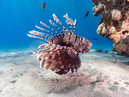 Lionfish (pterois miles) hovers beside a Red Sea reef