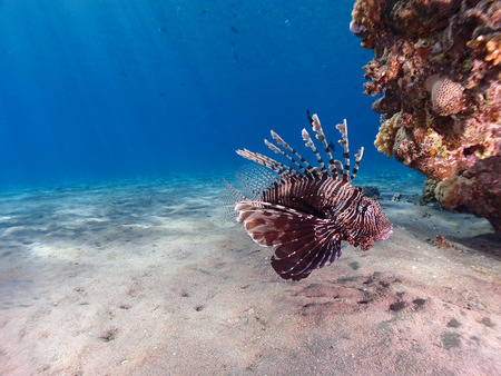 Lionfish (pterois miles) swims over a sandy seabed Stock Photo